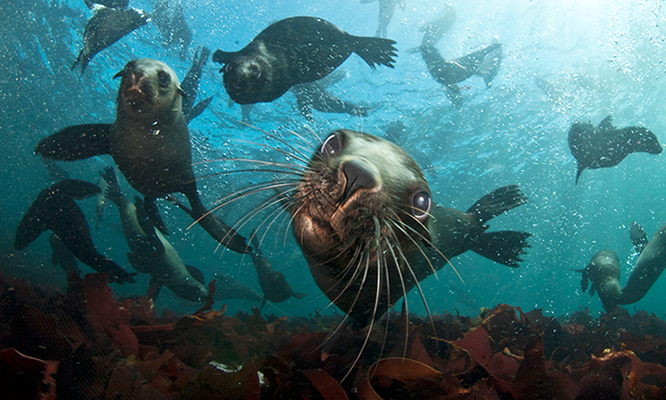 Seal Oudekraal